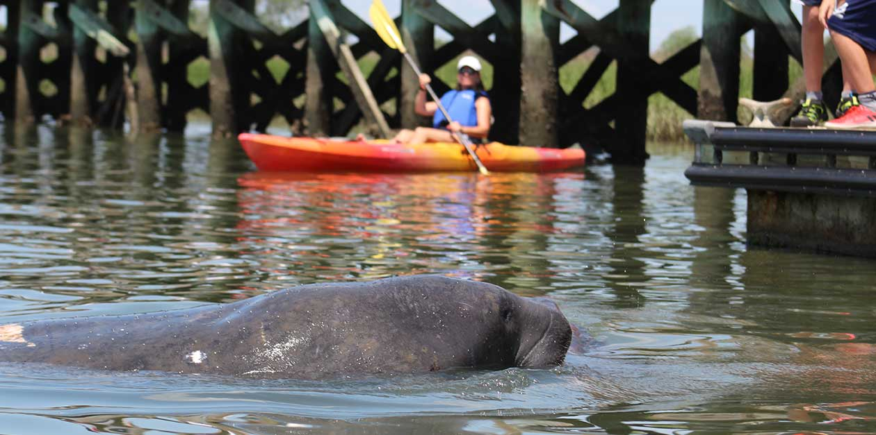 Are There Manatees In Charleston?